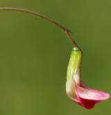 hrachor trávolistý <i>(Lathyrus nissolia)</i> / Květ/Květenství