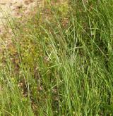 hrachor trávolistý <i>(Lathyrus nissolia)</i> / Habitus