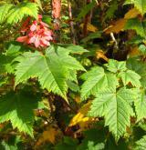 javor ocasatý <i>(Acer caudatum)</i> / Plod