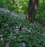 Suťové a skalní lesy <i>(Tilio platyphylli-Acerion)</i> / Detail porostu