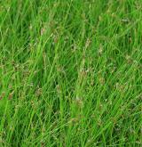 Vegetace obojživelných rostlin v mělkých oligotrofních a mezotrofních vodách <i>(Eleocharition acicularis)</i>