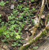 Vegetace nevápnitých lesních pramenišť <i>(Caricion remotae)</i> / Porost