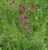 Subatlantské širokolisté suché trávníky <i>(Bromion erecti)</i> / Porost
