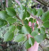 javor hustokvětý <i>(Acer pycnanthum)</i> / List