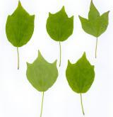 javor Bürgerův <i>(Acer buergerianum)</i> / List