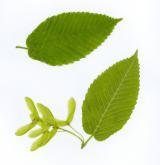 javor habrolistý <i>(Acer carpinifolium)</i> / List