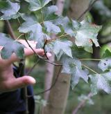 javor rozkladitý <i>(Acer divergens)</i> / List