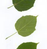 javor Grosserův <i>(Acer grosseri)</i> / List