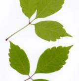 javor Henryho <i>(Acer henryi)</i> / List