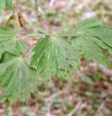 javor japonský <i>(Acer japonicum)</i> / List