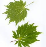 javor japonský <i>(Acer japonicum)</i>