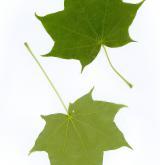 javor mono <i>(Acer pictum)</i> / List