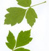 javor jasanolistý <i>(Acer negundo)</i> / List