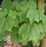 javor niponský <i>(Acer nipponicum)</i> / List