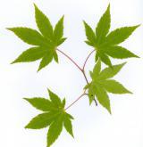 javor olivový <i>(Acer olivaceum)</i> / List