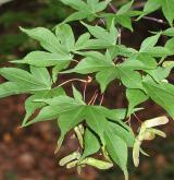 javor dlanitolistý <i>(Acer palmatum)</i> / Plod