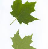 javor cukrový <i>(Acer saccharum)</i>