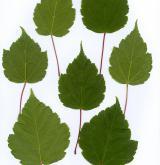 javor čtyřčetný <i>(Acer stachyophyllum)</i> / List