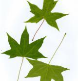 javor uťatý <i>(Acer truncatum)</i>