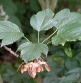 javor lejnicovitý <i>(Acer sterculiaceum)</i> / Plod