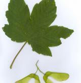 javor klen × Heldreichův <i>(Acer ×pseudoheldreichii)</i> / List