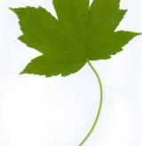 javor klen × Trautwetterův <i>(Acer ×pseudotrautwetteri)</i> / List