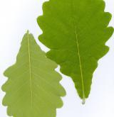 dub zubatý <i>(Quercus dentata)</i> / List