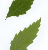 dub žlázonosný <i>(Quercus glandulifera)</i> / List