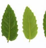 dub trojský <i>(Quercus trojana)</i> / Habitus