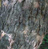 javor klen <i>(Acer pseudoplatanus)</i> / Borka kmene