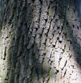 dub letní <i>(Quercus robur)</i> / Borka kmene