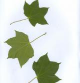 javor Lobellův <i>(Acer lobelli)</i> / List