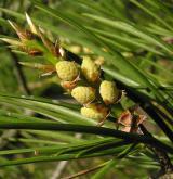 borovice Bungeova <i>(Pinus bungeana)</i> / Květ/Květenství