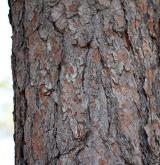 borovice kalabrijská <i>(Pinus brutia)</i> / Borka kmene