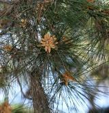 borovice kalabrijská <i>(Pinus brutia)</i> / Květ/Květenství
