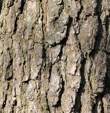 borovice montereyská <i>(Pinus radiata)</i> / Borka kmene