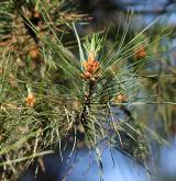 borovice montereyská <i>(Pinus radiata)</i> / List