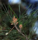 borovice montereyská <i>(Pinus radiata)</i> / Květ/Květenství