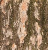 borovice wallichiana <i>(Pinus wallichiana)</i> / Borka kmene