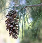 borovice wallichiana <i>(Pinus wallichiana)</i> / Plod