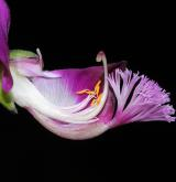 vítod myrtifolia <i>(Polygala myrtifolia)</i> / Květ/Květenství