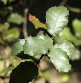 dub okrouhlolistý <i>(Quercus rotundifolia)</i> / List