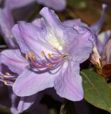pěnišník Augustinův <i>(Rhododendron augustini)</i> / Květ/Květenství