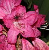 pěnišník stromkovitý <i>(Rhododendron arboreum)</i> / Květ/Květenství