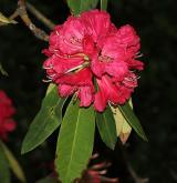 pěnišník velkolistý <i>(Rhododendron macrophyllum)</i> / Květ/Květenství
