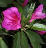 pěnišník Simsův <i>(Rhododendron simsii)</i> / Květ/Květenství