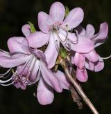 pěnišník Vaseyův <i>(Rhododendron vaseyi)</i> / Květ/Květenství