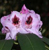 pěnišník klíviovitý <i>(Rhododendron ×clivianum)</i> / Květ/Květenství