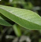 vrba atrocinerea <i>(Salix atrocinerea)</i> / List