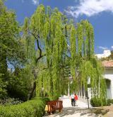 vrba babylonica <i>(Salix babylonica)</i> / Habitus